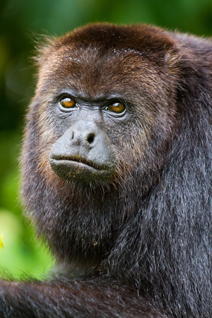 howler: close up of a howler monkey in the wild, Belize.