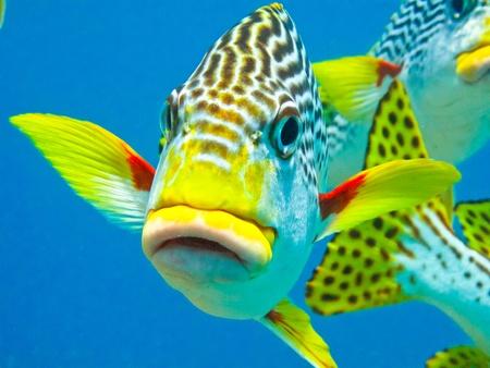 arrecife: Una diagonal sweetlip bandas posa para la c�mara.