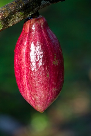 A ripe cocoa fruit waits to be picked and processed into chocolate Stock Photo