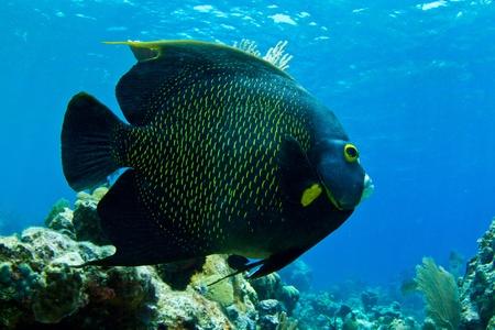 A huge Caribbean Angel fish cruises the shallows. photo