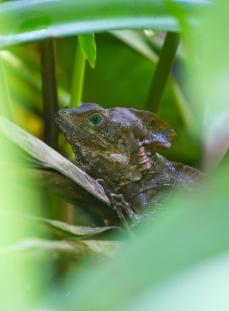 A tropical dragon hides in the reeds on the waters edge deep in the jungle of Guatemala. Stock Photo - 9255168