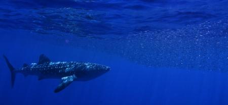 A whale shark feeding. Stock Photo - 9255176