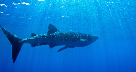 A huge whale shark warms up near the surface in Honduras. Stock Photo - 9255199