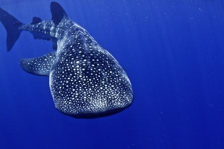 honduras: A whale shark in Honduras. Stock Photo