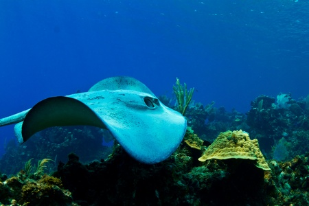 A stingray swims over a tropical reef in  Honduras,  Central America photo