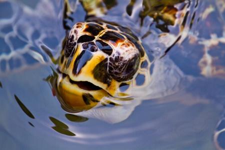 america centrale: Una tartaruga embricata in Honduras, America centrale