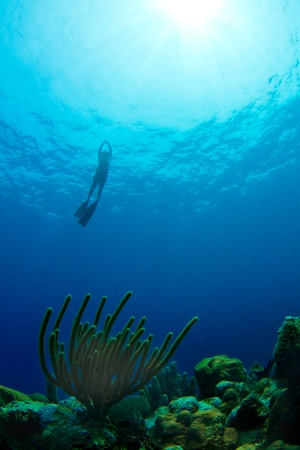 free diver: A free diver ascends from a tropical reef in Utila,  Honduras