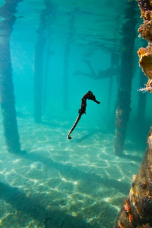 honduras: A seahorse hovering mid water Stock Photo