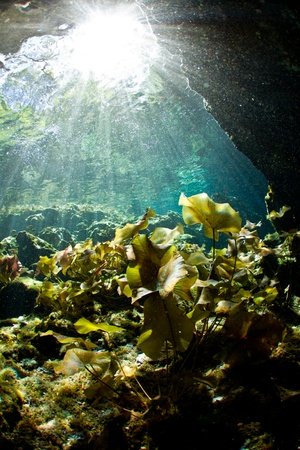 Lily pads photographed from underwater at a cenote in Mexico Stock Photo