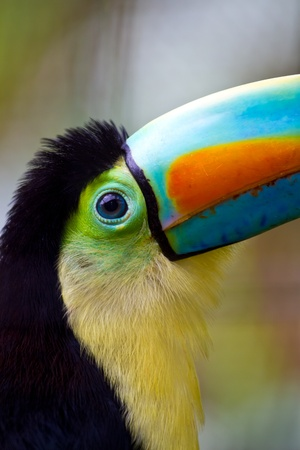 toucan: Close up of a beautiful keel bill toucans big blue eye!