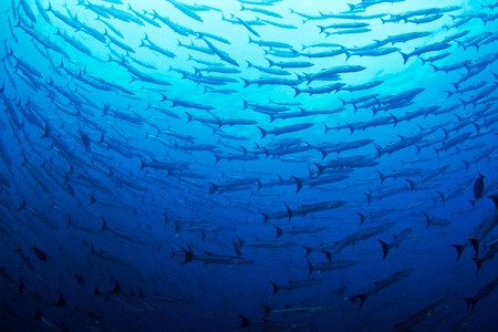 A huge school of massive pacific Barracuda circle the photographer