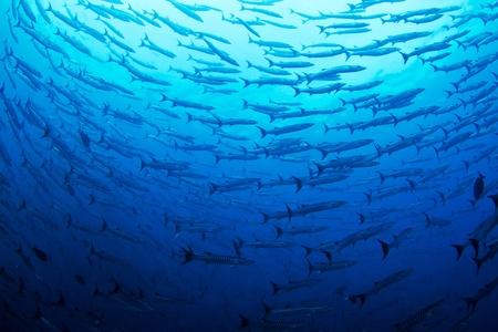 Een enorme school van de massale vreedzame Barracuda cirkel van de fotograaf