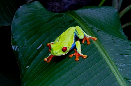 A beatuiful red eyed tree frog stares into the camera.