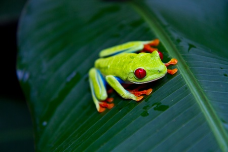 red eyed tree frog: A beatuiful red eyed tree frog stares into the camera.