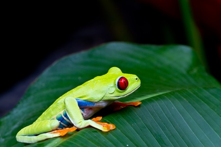The amazing blue sides of the red eyed tree frog.