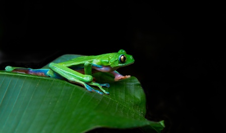 A beautiful blue sided leaf frog prepares to launch in the rainforests of Costa Rica. Stock Photo - 10024067