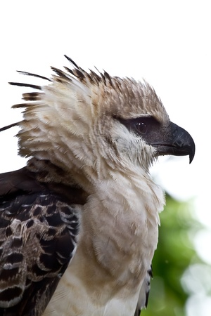 Head shot of the massive crested Eagle while it rests on a nearby branch in Peru. Stock Photo - 10024071