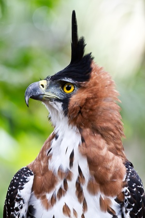 A close up of an Ornate Hawk Eagle  Displaying in the Amazon. Stock Photo