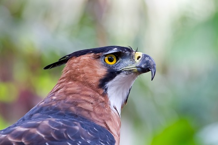 Close up of an Ornate Hawk Eagle at rest in the Amazon jungle. Stock Photo - 10024079