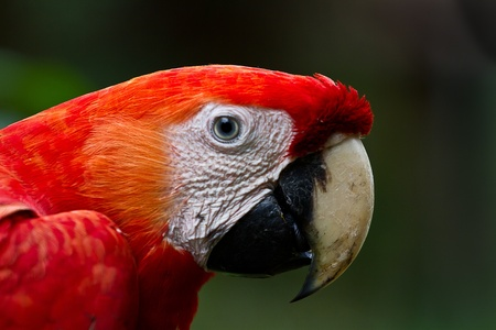 Close up of the largest parrot in the Amazon. The Scarlet Macaw.