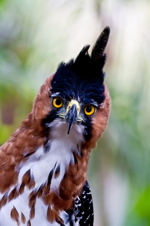 The amazing big yellow eyes of the ornate hawk eagle catch sight of the photographer deep in Amazon jungle. Peru.