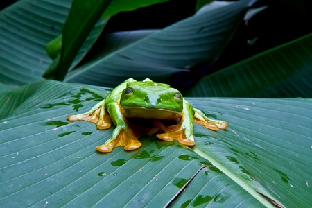 flying monkey: A huge flying tree frog blinks for the camera In Costa Rica.
