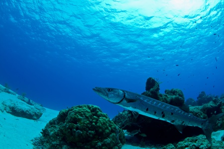 unsuspecting: A huge Barracuda uses the reef to hide its slender body as it waits for unsuspecting prey to get to close in Mexico.