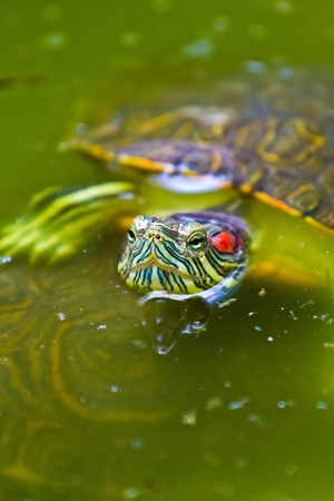 eared: A very colourful Mexican red eared turtle warms up at the surface of a shallow pond in Mexico. Stock Photo