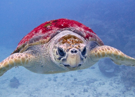ancient turtles: A Massive Logger head turtle easily hundreds of years old cruises past. GBR Australia. Stock Photo