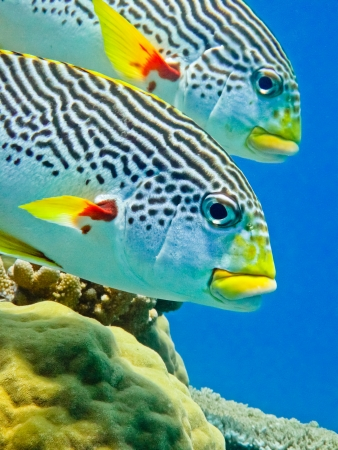 great barrier reef: Diagonal banded sweetlip on Australia