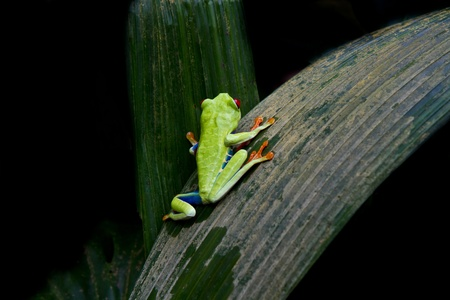 red eyed tree frog: Asmall Red eyed tree frog climbs a palm in a Costa Rican cloud forest. Stock Photo