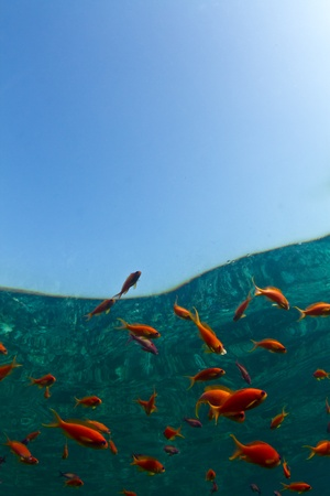 Bright orange reef fish with the reflection of the coral reef in Egypt. Red Sea with plenty of Copy space. Stock Photo - 11784569