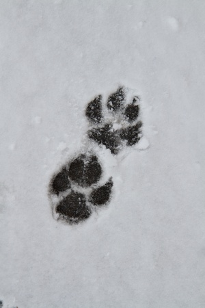 animal tracks: A Large dog leaves a trail in the snow  Stock Photo