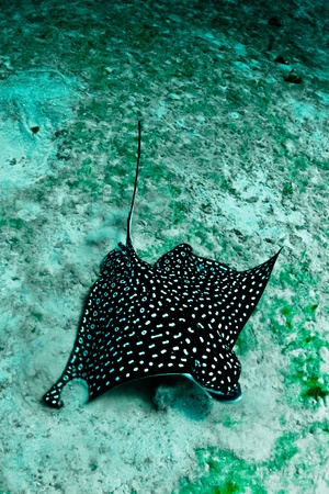 A large spotted eagle ray looks for food in the sand. photo