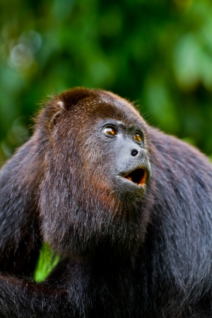 howler: A large wild black howler monkey mid howl. Belize. Stock Photo