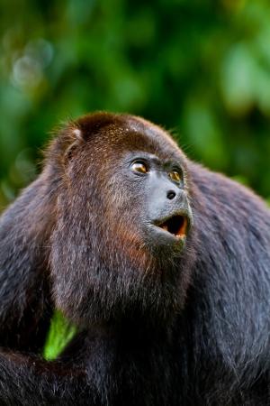 howl: A large wild black howler monkey mid howl. Belize. Stock Photo