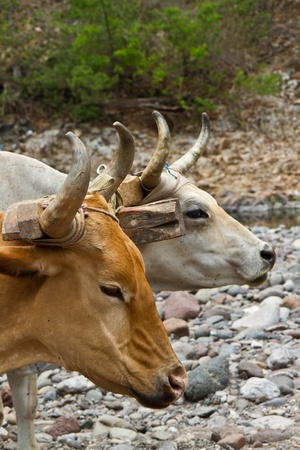 rickety: Two huge cows pull a rickety cart along a dry river bed in Honduras  Stock Photo