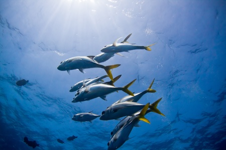 A small school of trevally hover above a coral bomie in Belize  Stock Photo - 13251718