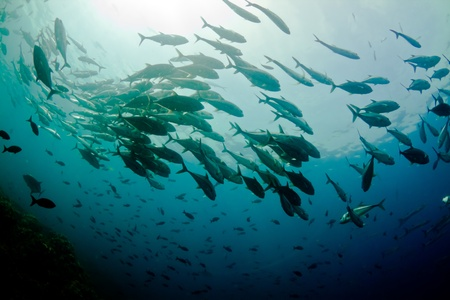A large school of jacks circle overhead in Costa Rica