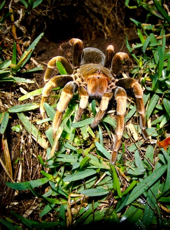 A huge hairy tarantula comes out of her burrow in Costa rica