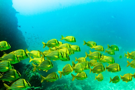 A school of tropical yellow reef fish