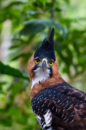 A huge wild ornate crested eagle in the Amazon Peru. Stock Photo