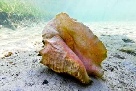 oceanography: A large conch on the sea floor in Honduras.