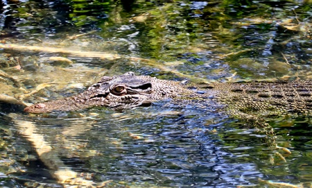 lieing: An Australian salt water crocodile lieing in wait up a small crystal clear river in far north Queensland  Stock Photo