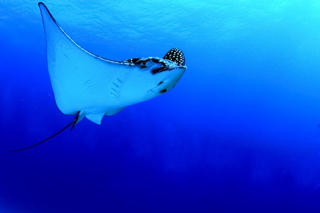 A huge caribbean spotted eagle ray glides by in Mexico