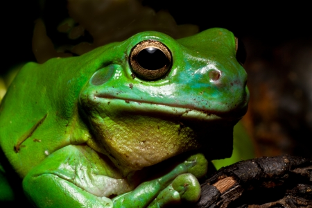 whites: A huge Australian green tree frog posses for the camera. Stock Photo