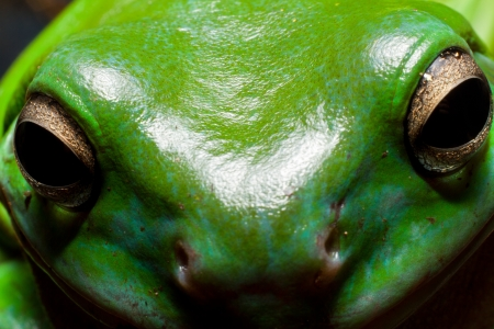 green tree frog: close up of the very cute Australian green tree frogs happy face. Stock Photo