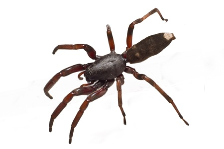 The infamous Australian white tip spiders preferred prey is other spiders and they are equipped with some serious venom for hunting. Stock Photo