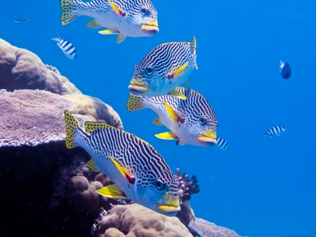 barrier reef: Boldly colored diagonal banded sweetlip on Australias great barrier reef. Stock Photo