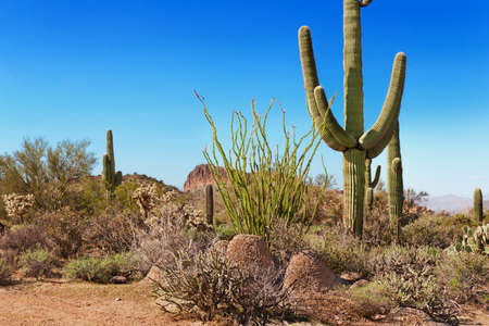 saguaro: Saguaro, ocotillo, chollo and spring greenery  of the Tonto National Forest, Arizona